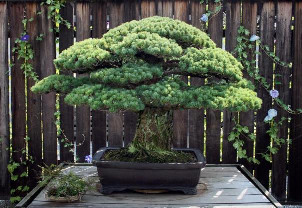 Δέντρο είναι 391 χρονών και επέζησε από τη Χιροσίμα!